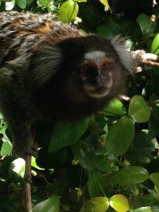 Mono Corcovado